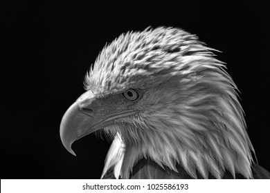 American bald eagle. Powerful high-contrast USA national bird monochrome image. Poignant close-up of the thoughtful face on this magnificent animal.