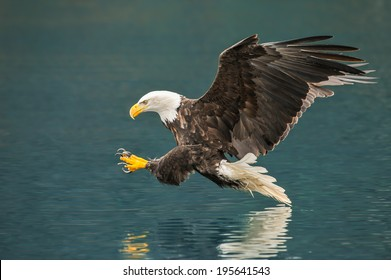 american bald eagle preparing to snag fish in alaskan waters