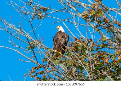 American bald eagle sitting on a tree branch with blue sky in background
