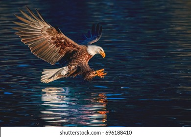 american bald eagle swooping to catch fish in alaskan kenai region waters of cook inlet, in high resolution