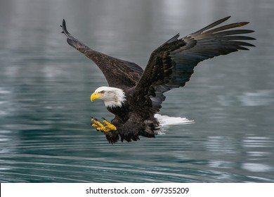 american bald eagle swooping to catch fish in alaskan kenai region waters off cook inlet