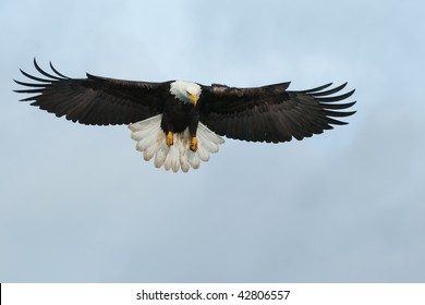 american bald eagle swooping down to grab a fish