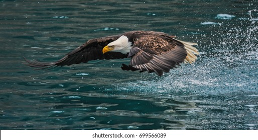 American bald eagle swooping down to grab a fish in Alaskan waters of Kenai region