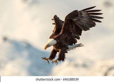 american bald eagle swooping to a landing, with talons extended, against Alaskan Kenai snow-covered mountain in background