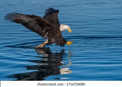 american bald eagle swoops down to grab fish in calm waters of alaskan cove off kachemak bay