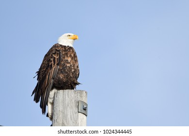 American Bald Eagle watching for prey to go and hunt