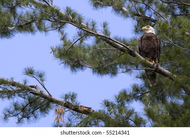 American Bald Eagle in White Pine Tree