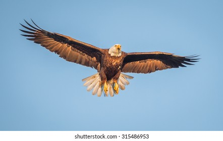 American bald eagle wings spread, blue sky