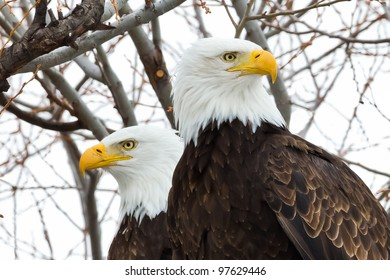 American Bald Eagles in Pair