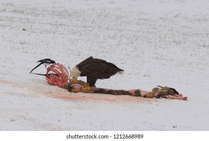 American Bald Eagles scavenging on the remains of a road killed deer
