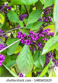 American beautyberry (Callicarpa americana) is an open-habit, native shrub of the Southern United States which is often grown as an ornamental in gardens and yards.