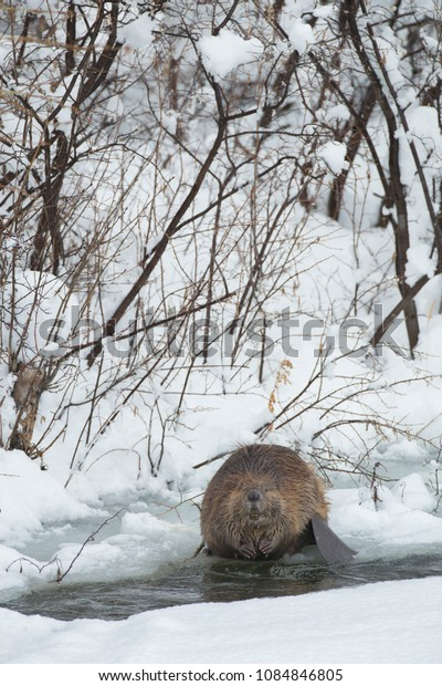 American Beaver in Wyoming Agnieszka Bacal.