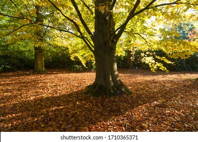 american beech tree in a botanical park in the netherlands in fall time