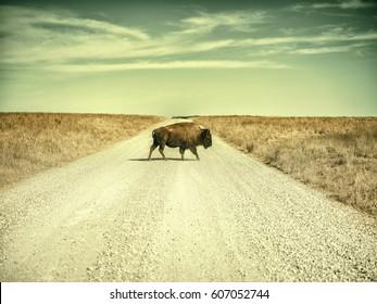 American bison, aka buffalo, crossing a gravel road alone.
