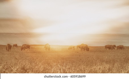 American bison, aka buffalo, eating grass on the prairie at sunset