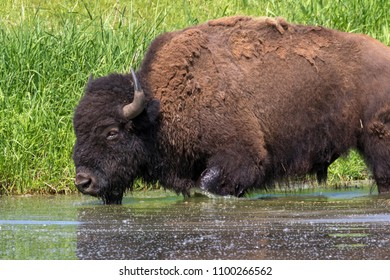 American bison (Bison bison) bathing in a lake during hot summer day, Iowa, USA.