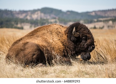 American Bison in the Black Hills