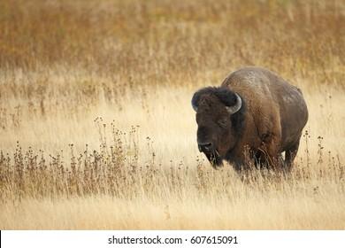An American Bison or Buffalo