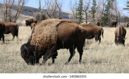 American bison - Buffalo - Bos bison bison