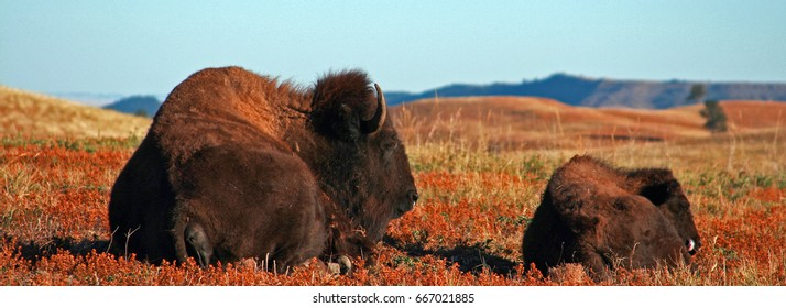 American Bison Buffalo Cow w calf in Wind Cave National Park in the Black Hills of South Dakota USA