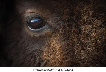 American bison or buffalo eye closeup.