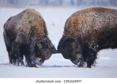 American Bison buffalo fighting in harsh winter snow of Colorado at the Rocky Mountain Arsenal National Wildlife Refuge