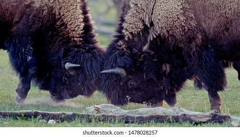 American bison (Bison bison) or american buffalo head-butting during summer time in Yellowstone National Park, Wyoming, USA