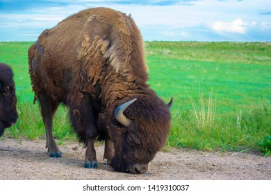 American Bison Buffalo licking the ground during the day by a meadow