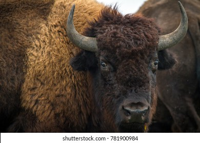 American bison (buffalo) portrait.