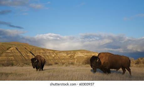 American Bison buffalo in prairie habitat in the mid western states of Nebraska, South and North Dakotas, Colorado, Wyoming, and Montana