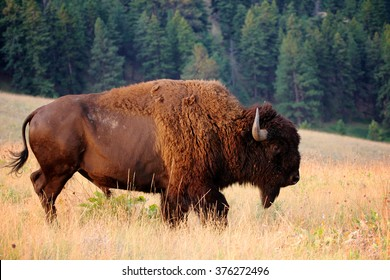 American Bison Buffalo side profile early morning in Montana at National Bison Refuge