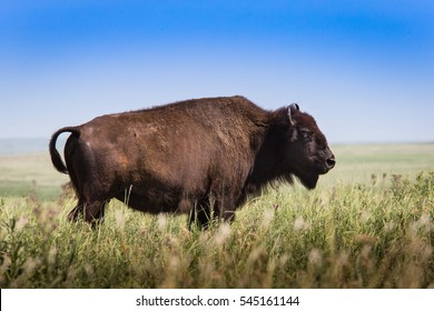 american bison buffalo standing in tall grass prairie