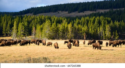 American Bison / Buffalo in Yellowstone National Park USA Wayoming