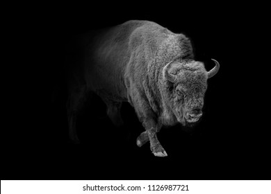 american bison, buffolo walking out of the dark into the light, animal wildlife digital art