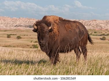 American Bison Bull (Bison bison) in Badlands of South Dakota - wild