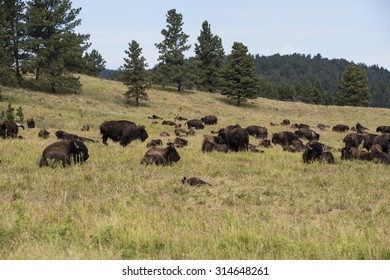 American bison (Bison bison) bull - Custer State Park, Black Hills, South Dakota