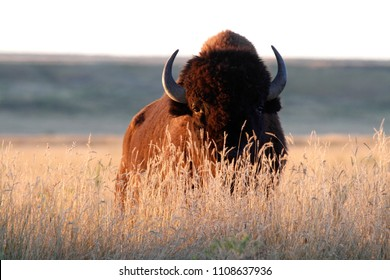 American bison (Bison bison) bull in tall grass short-grass prairie, American Prairie Reserve, Eastern Montana, USA