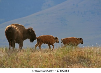 American bison (Bison bison) with calf, National Bison Range, Montana