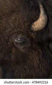 American Bison (Bison bison) close up portrait, Yellowstone National Park, Wyoming-Montana, USA