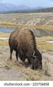 American Bison - cow in the Hayden valley