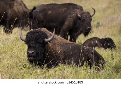 American bison (Bison bison), Custer State Park, Black Hills, South Dakota