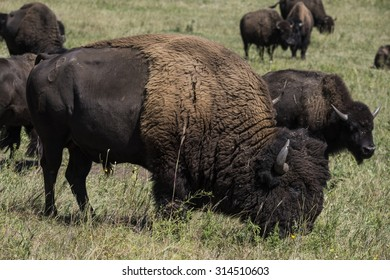 American bison (Bison bison) - Custer State Park, Black Hills, South Dakota