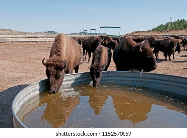American bison drink from a water tank at Custer State Park, South Dakota, during buffalo roundup
