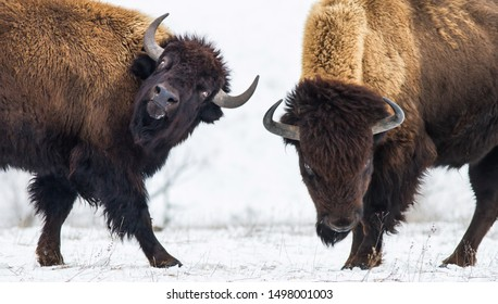 American bison fighting in the snow.