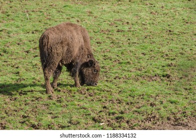 An american bison grazes