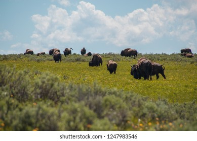 American Bison grazing, lounging, rutting, fighting, and resting in the meadows of Yellowstone National Park's Lamar and Hayden Valleys