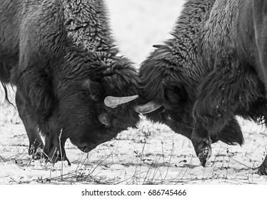 American bison headbutt in mating season.