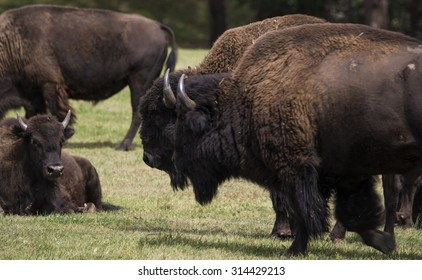 American bison (Bison bison) herd, Custer State Park, Black Hills, South Dakota