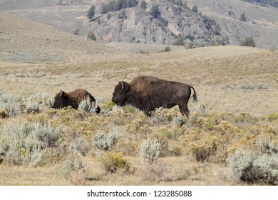 American Bison in the Lamar Valley of Yellowstone National Park