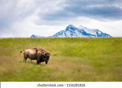 American Bison Montana